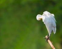 белизна egret снежная Стоковое Изображение RF