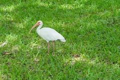 белизна ibis птицы Стоковые Изображения