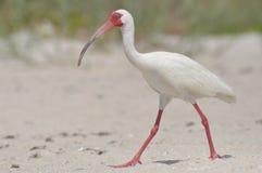 белизна ibis Стоковое фото RF