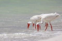 белизна ibis Стоковая Фотография RF