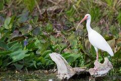 белизна ibis Стоковое Изображение