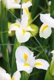 Белизна irises крупный план стоковое изображение rf
