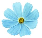 Белизна Kosmeja цветка бирюзы изолировала предпосылку с путем клиппирования Отсутствие теней closeup Стоковое Изображение