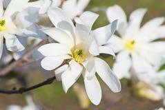 белизна magnolia цветений Стоковая Фотография