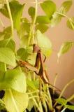 белизна mantis предпосылки моля Стоковые Фото