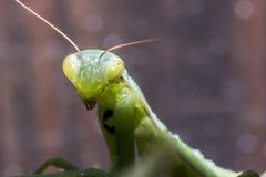 белизна mantis предпосылки моля Стоковое Изображение