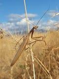 белизна mantis предпосылки моля Стоковое Фото
