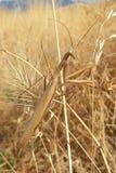 белизна mantis предпосылки моля Стоковое Изображение RF