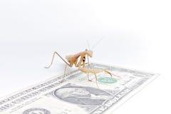белизна mantis предпосылки моля стоковая фотография