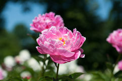 белизна peony цветка предпосылки Стоковое фото RF