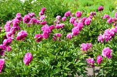 белизна peony цветка предпосылки Стоковые Изображения
