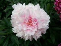 белизна peony цветка предпосылки Стоковые Фотографии RF
