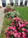 белизна peony цветка предпосылки Стоковое Фото