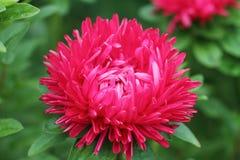 белизна peony цветка предпосылки Стоковая Фотография RF