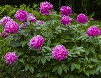 белизна peony цветка предпосылки Стоковые Фото