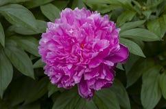 белизна peony цветка предпосылки Стоковые Изображения RF