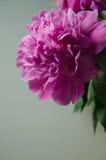 белизна peony цветка предпосылки Стоковая Фотография