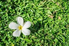 белизна plumeria зеленого цвета травы цветка Стоковые Фото