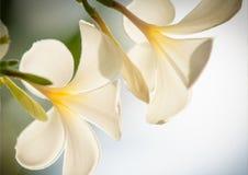 Белизна Plumeria Стоковое Изображение