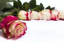 белизна rosebud цветка предпосылки розовая Стоковые Изображения RF