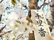 белизна sakura Стоковые Изображения