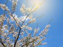 белизна sakura Стоковое фото RF