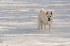 Белизна Snowy Акита Стоковое Изображение