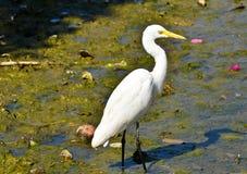 белизна voronezh природы цапли egret зоны русская Стоковые Фото