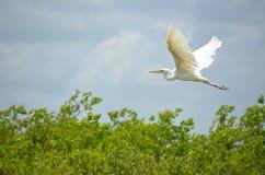 белизна voronezh природы цапли egret зоны русская Стоковое Изображение