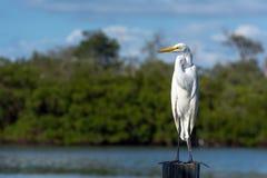 белизна voronezh природы цапли egret зоны русская Стоковое фото RF