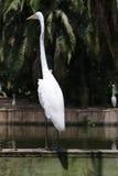 белизна voronezh природы цапли egret зоны русская Стоковая Фотография