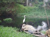 белизна voronezh природы цапли egret зоны русская Стоковые Фотографии RF