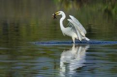 белизна voronezh природы цапли egret зоны русская Стоковые Изображения