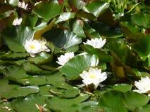 Белизна waterlily плавая на пруд стоковые изображения