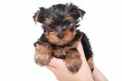 белизна yorkshire terrier щенка предпосылки Стоковые Изображения