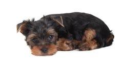 белизна yorkshire terrier щенка предпосылки Стоковая Фотография RF