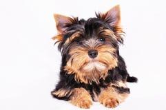 белизна yorkshire terrier щенка предпосылки Стоковое Фото