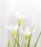 Белизна Zephyranthes цветков (трава кандиды) Стоковые Фотографии RF