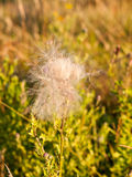 Белизны облако fluffly голов цветка thistle молока в лете Стоковое Изображение RF