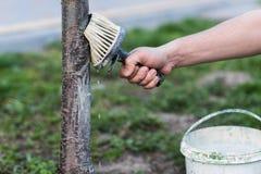 Белить весны деревьев Защита от солнца и бичей Украина Стоковая Фотография