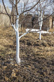 Белить весны молодых яблонь Стоковые Изображения RF