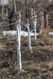 Белить весны молодых яблонь Стоковое Фото