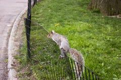 Белка взбираясь загородка на парке стоковое изображение