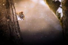Белка в дереве зимы пряча behing Стоковая Фотография
