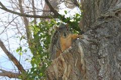 Белка в дереве Стоковая Фотография RF