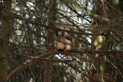 Белка в лесе Стоковое фото RF