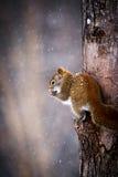 Белка в зиме взбираясь и есть в дереве Стоковые Изображения