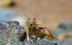 Белка в национальном парке yellowstone Стоковые Изображения