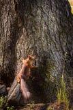 Белка в парке на дереве Стоковые Изображения RF