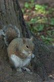 Белка в парке с деревом Стоковые Фотографии RF